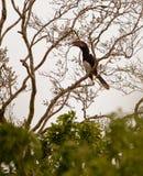 Trumpeter Hornbill on a tree stock photos