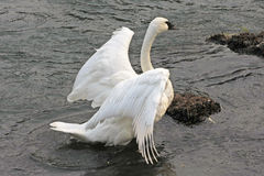Trumpeter Swan Stock Image