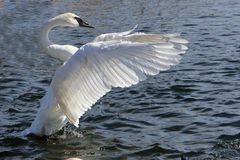 Trumpeter Swan. Open Wings In Afternoon Sun Stock Image
