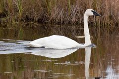 Free Trumpeter Swan Royalty Free Stock Images - 1555879