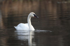 Trumpeter Swan. With drips from its bill on calm water Stock Photo