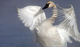Trumpeter swan. Adult trumpeter swan stretching wings Stock Photos