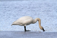 Trumpeter Swan. Standing on an ice shelf drinking Royalty Free Stock Photography