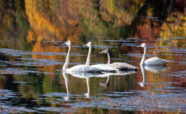 Trumpeter Swan. Family of Trumpeter Swans float leisurely on a lake.  The backdrop of fall colors provide a beautiful backdrop and reflection.  Autumn in Stock Photography
