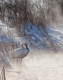 Trumpeter Swan. Along the shoreline in the morning sunlight.  Mist rising from the cold lake.  Winter in Wisconsin Stock Images