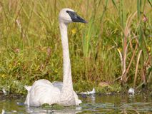 A trumpeter swan on a beautiful sunny Fall / Autumn day - taken in the Crex Meadows Wildlife Area in Northern Wisconsin.  stock photos