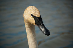 Trumpeter Swan Close-up. The head and upper neck of a Trumpeter Swan with a pond in the background Royalty Free Stock Image