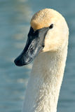 Trumpeter Swan. Close up of a Trumpeter Swan Stock Image