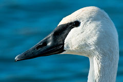Trumpeter Swan Stock Images