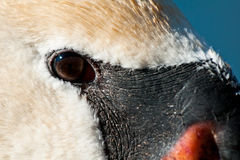 Trumpeter Swan. Close up of a Trumpeter Swan Royalty Free Stock Image