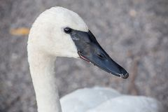 Trumpeter swan close up headshot. Close up photo of black billed trumpeter swan close up headshot with blurred bokeh background take at La Salle Park in Royalty Free Stock Photography