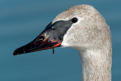 Trumpeter Swan. Closeup of a juvenile Trumpeter Swan Stock Images