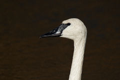 Trumpeter Swan Closeup. A closeup of a Trumpeter Swan. These large birds have been making a comeback in Iowa in recent years Stock Photography