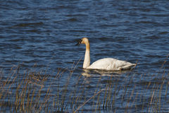 Trumpeter Swan. At the coast of Vancouver Stock Photos