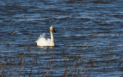 Trumpeter Swan Royalty Free Stock Photo