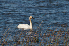 A Trumpeter Swan Stock Photos