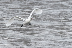 Trumpeter Swan Coming in for a Landing Stock Images