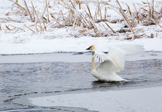 Trumpeter Swan Stock Photography