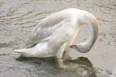 Trumpeter Swan Cygnet. (Cygnus buccinator), preening, about 6 months old Royalty Free Stock Images