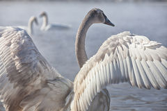 Trumpeter Swan Cygnet Stock Photos
