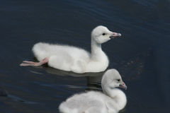 Trumpeter Swan cygnets (Cygnus Buccinator). Two Baby Trumpeter Swans swimming Stock Image