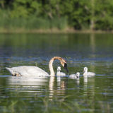 Trumpeter swan and cygnets Stock Photography