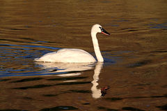 Trumpeter Swan (Cygnus buccinator) Royalty Free Stock Photos