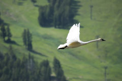 Trumpeter Swan (Cygnus buccinator) Royalty Free Stock Photography