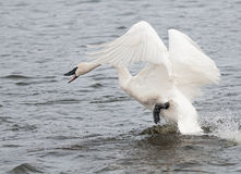 Trumpeter Swan (Cygnus buccinator) on the Attack Stock Photo