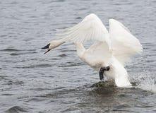 Trumpeter Swan (Cygnus buccinator) on the Attack Stock Photo