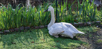 Trumpeter Swan - Cygnus buccinator. The beautiful white Trumpeter Swan is named for its sonorous calls, which are often compared to the sounds of a French horn Stock Photos