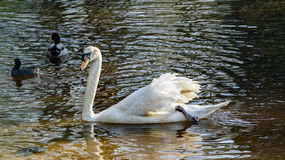 Trumpeter Swan - Cygnus buccinator. The beautiful white Trumpeter Swan is named for its sonorous calls, which are often compared to the sounds of a French horn Stock Image