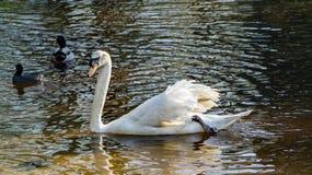 Trumpeter Swan - Cygnus buccinator Stock Image