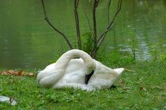 Trumpeter swan, Cygnus buccinator. Trumpeter swan, Columbus Zoo, Columbus OH Stock Image