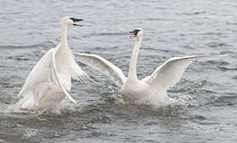 Free Trumpeter Swan (Cygnus Buccinator) Conflict Royalty Free Stock Images - 23533369