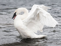 Trumpeter Swan (Cygnus buccinator) Display Royalty Free Stock Images