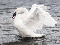 Trumpeter Swan (Cygnus buccinator) Display. Motion blur on wings Royalty Free Stock Images