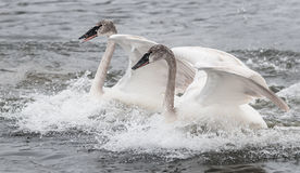 Trumpeter Swan (Cygnus buccinator) Duo Landing Stock Photo