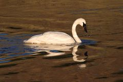 Trumpeter Swan (Cygnus buccinator) Stock Photo