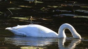 Trumpeter Swan, Cygnus buccinator, feeding on pond stock video