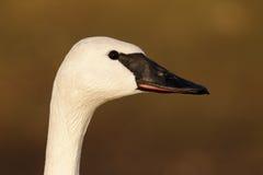 Trumpeter swan, Cygnus buccinator Royalty Free Stock Photos