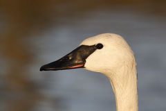 Trumpeter swan, Cygnus buccinator Royalty Free Stock Images