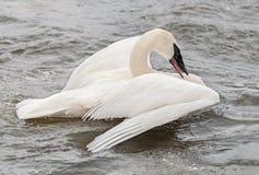 Trumpeter Swan (Cygnus buccinator) Spread Wings Royalty Free Stock Image