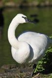 Trumpeter Swan Stock Image