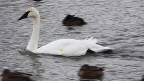 Trumpeter Swan, Cygnus buccinator, swimming stock video footage