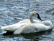 Trumpeter Swan or Cygnus buccinator Royalty Free Stock Photography