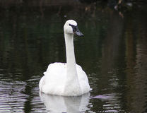 Trumpeter swan Royalty Free Stock Image