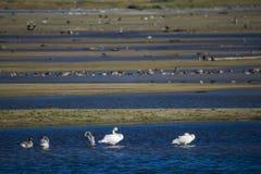 Trumpeter Swan Cygnus buccinator) Swimming. Trumpeter Swans (Cygnus buccinator) and Canada Geese (Branta canadensis) swim along the Harrison River in BC, Canada Stock Photo