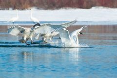 Trumpeter Swan - Cygnus buccinator. Three Trumpeter Swans come in for a splash down landing in the cold water. Tommy Thompson Park, Toronto, Ontario, Canada stock images