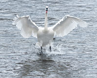 Trumpeter Swan (Cygnus buccinator) Touchdown Stock Photo